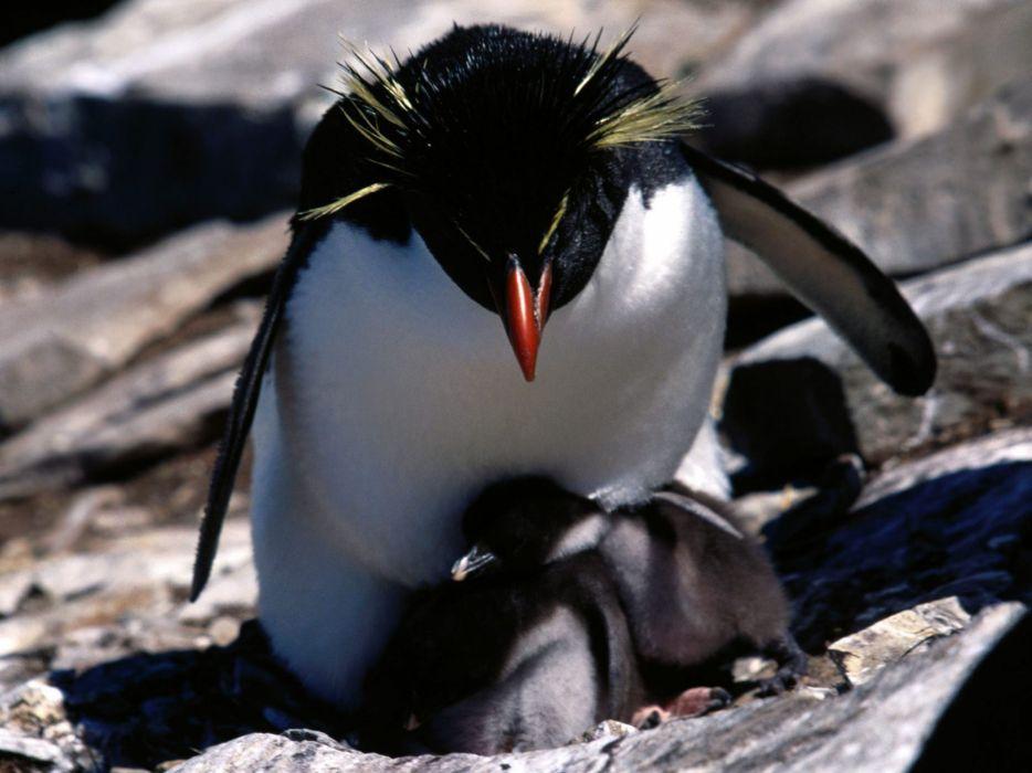 baby rockhopper penguin sounds - 934×700