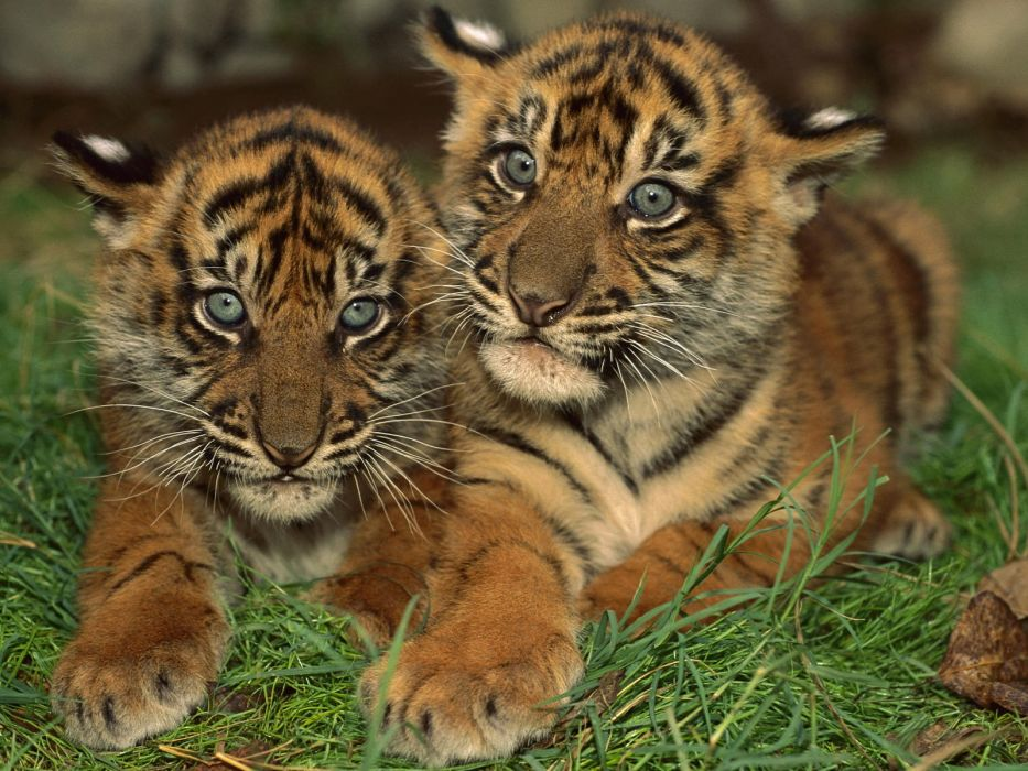 tigers cubs wallpaper