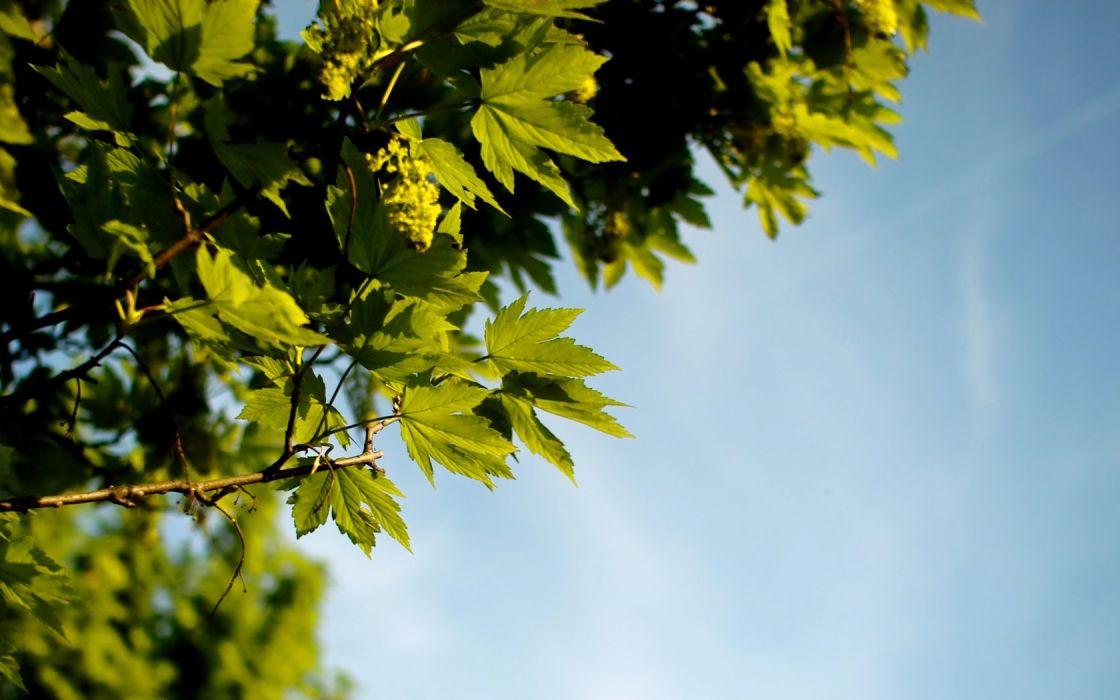 trees leaves oak wallpaper