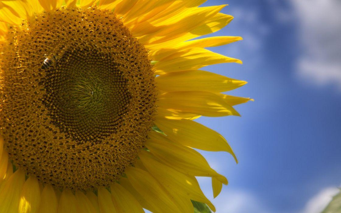 close-up nature flowers sunflowers wallpaper
