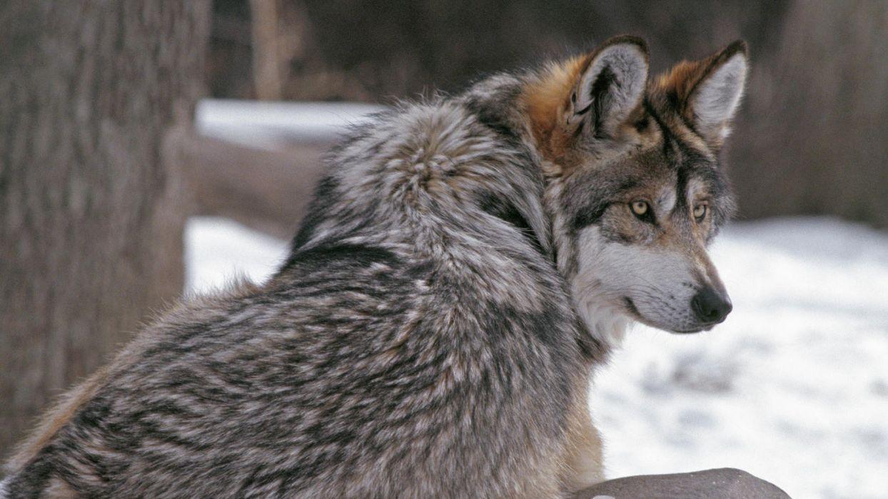 international Minnesota Timber Wolf wallpaper