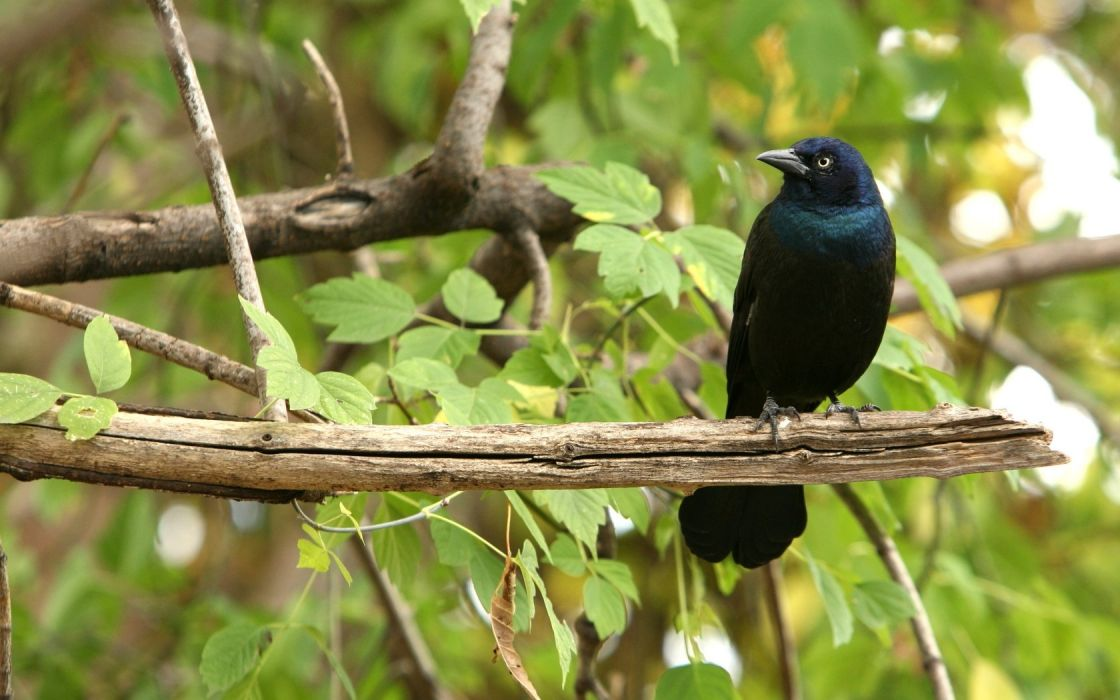 trees birds animals leaves branches iridescence grackle wallpaper
