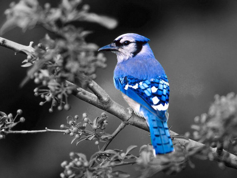 birds Blue Jay selective coloring wallpaper