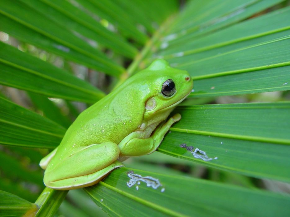 green nature leaf animals frogs amphibians wallpaper