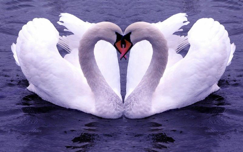 water birds swans affection wallpaper