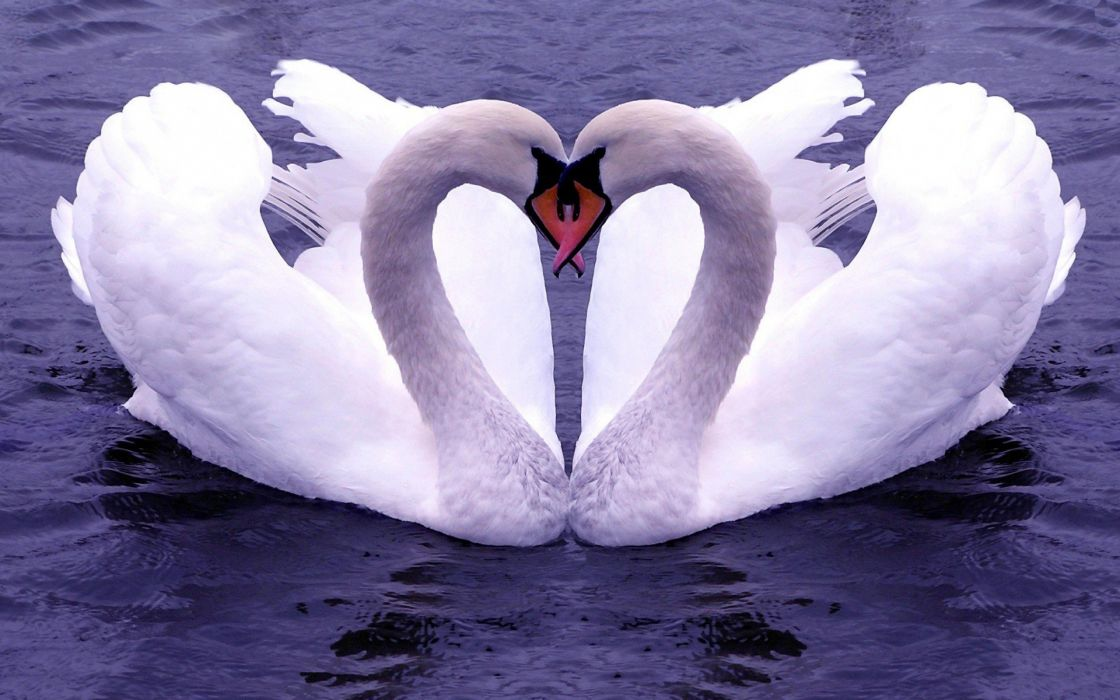 water birds swans affection wallpaper