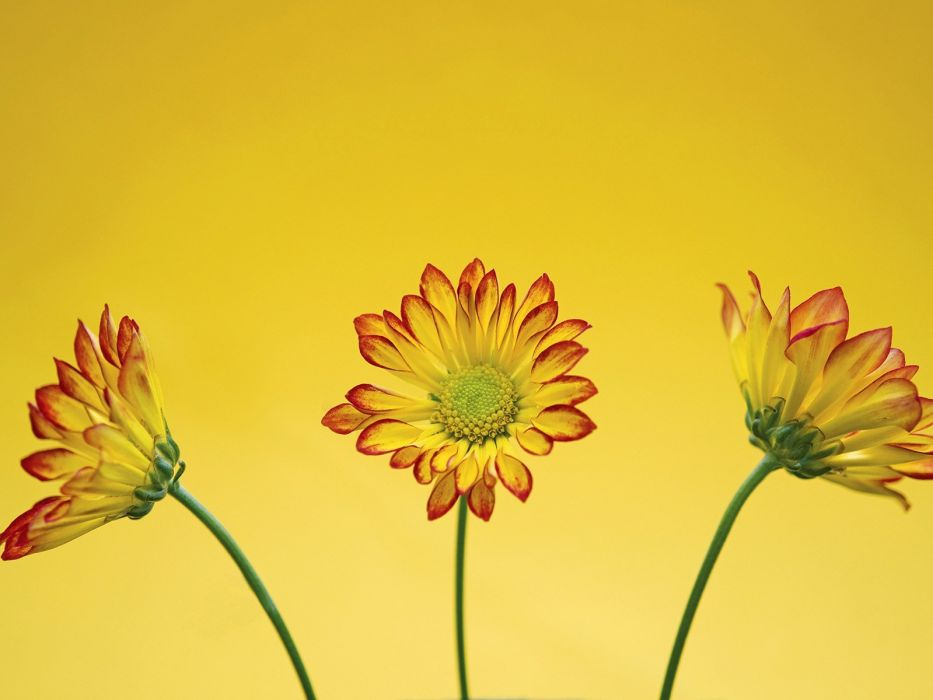 flowers yellow Roma wallpaper