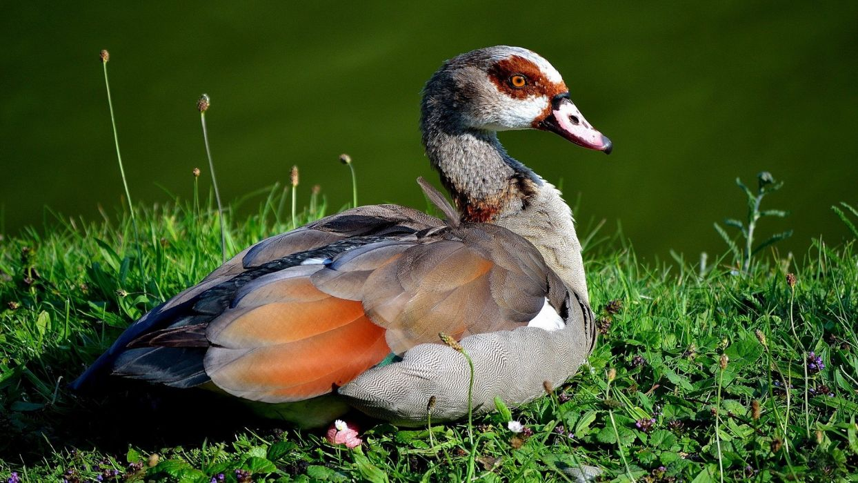 nature birds animals ducks wallpaper