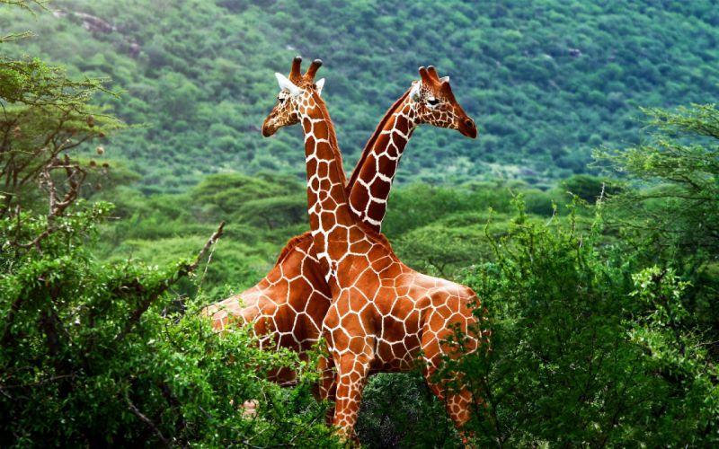 forests animals giraffes wallpaper