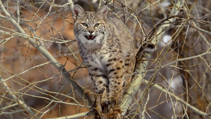 animals bobcats branches wallpaper