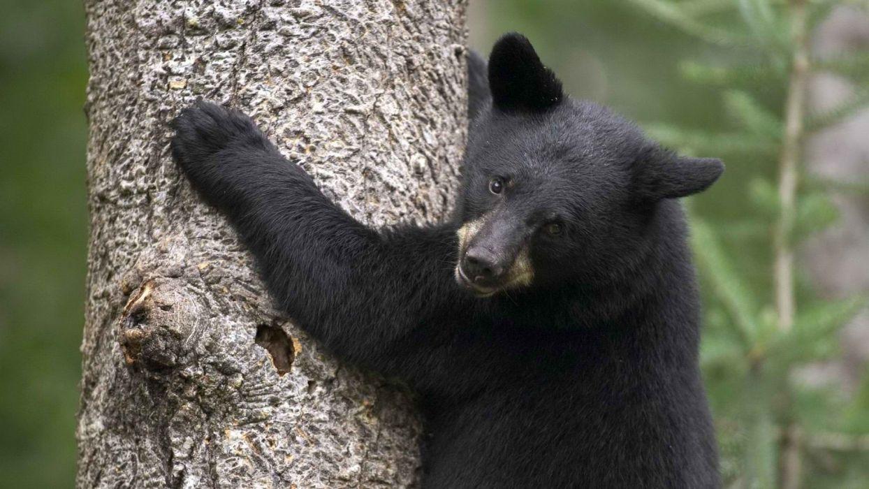 Minnesota black bear wallpaper