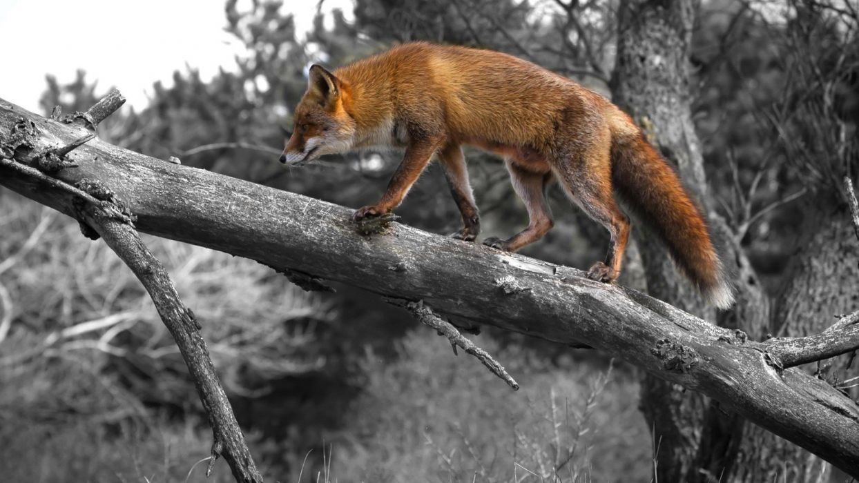 selective coloring foxes wallpaper