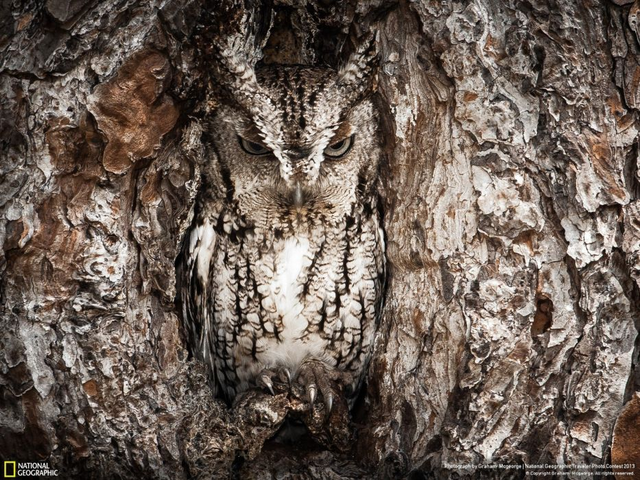 nature National Geographic owls photographers disguise wallpaper