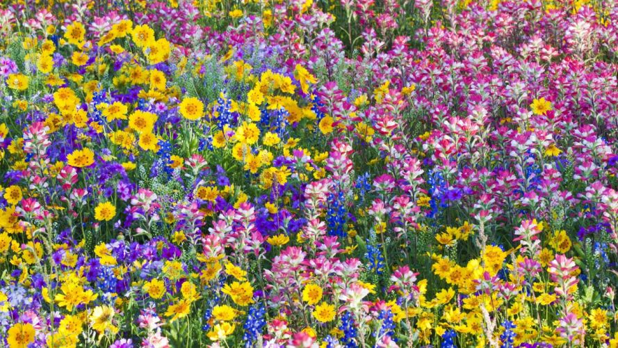 multicolor flowers spring Texas wildflowers Bluebells wallpaper