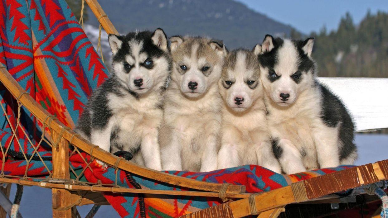 animals puppies angry Siberian husky wallpaper