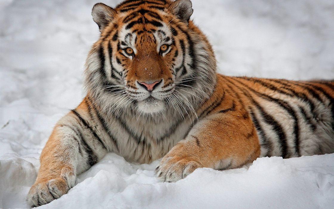winter snow animals tigers wallpaper
