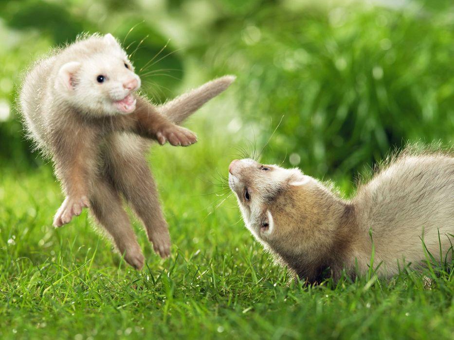 animals grass jumping outdoors ferret wallpaper
