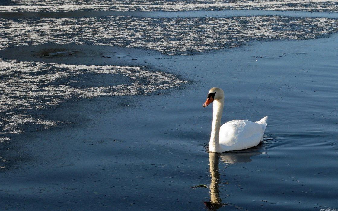 birds swans wallpaper