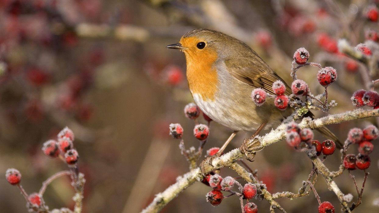 birds Scotland European robins wallpaper