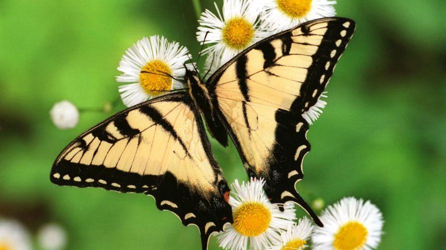 tigers butterflies wallpaper