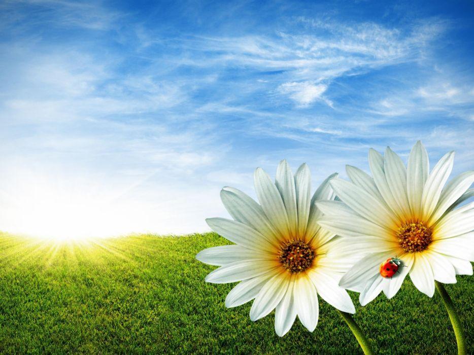 nature flowers grass spring daisy ladybirds wallpaper