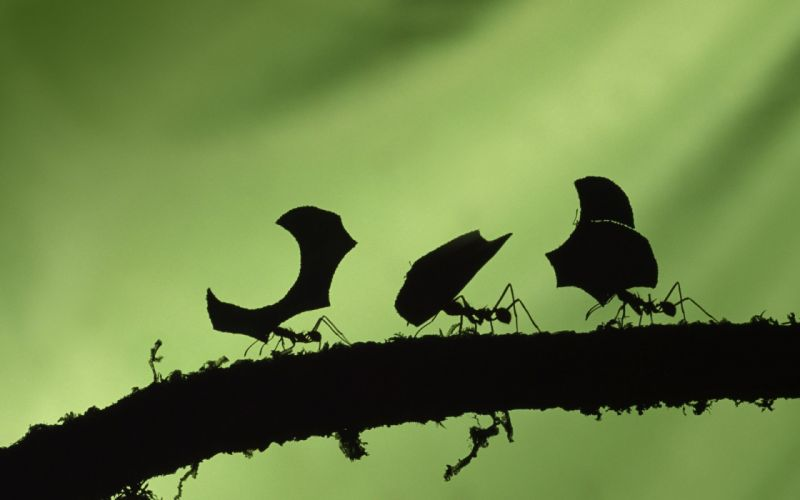 insects ants leaves silhouettes branches wallpaper
