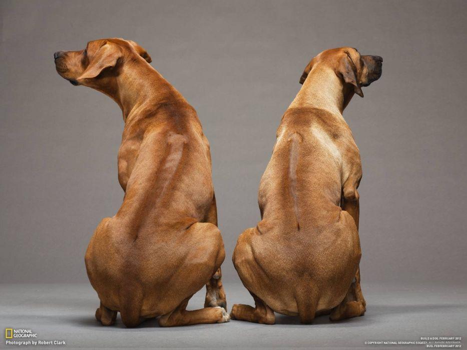 animals dogs rhodesian ridgeback wallpaper