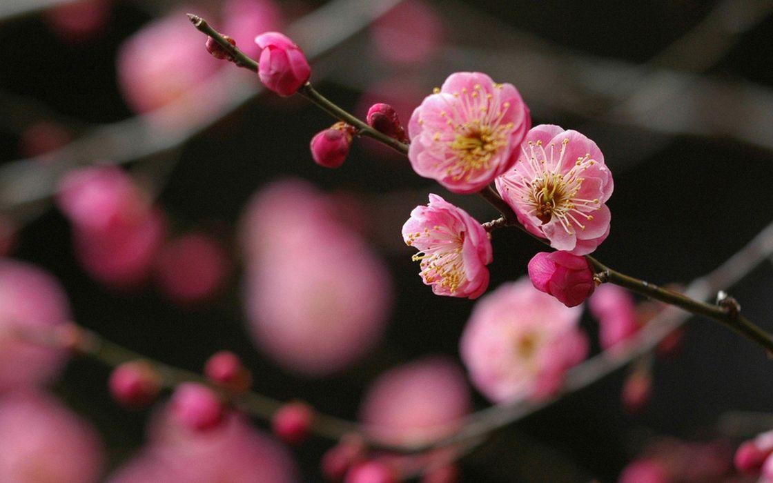 Japan cherry blossoms flowers spring wallpaper