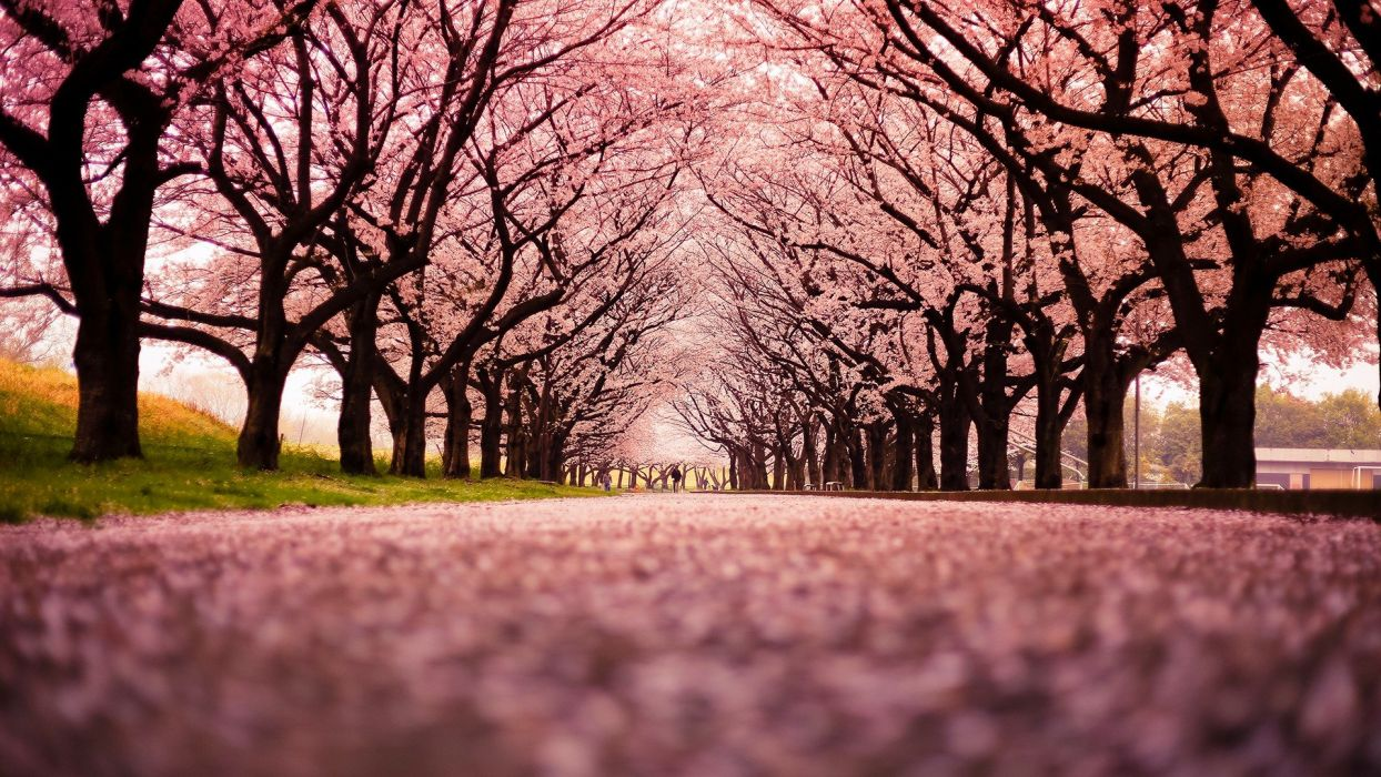 Japan trees peach wallpaper