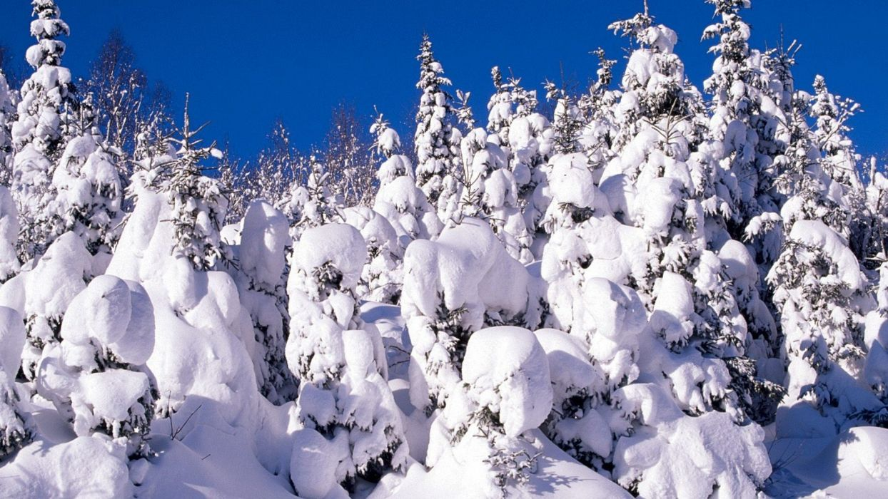snow trees Canada spruce wallpaper