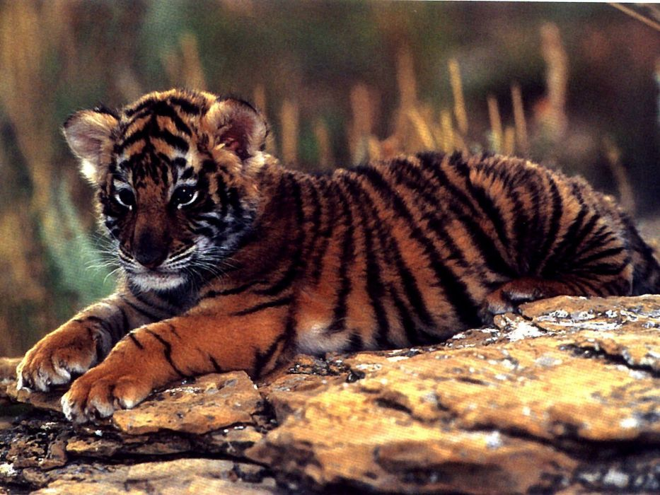 animals tigers baby animals wallpaper
