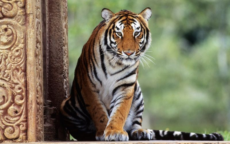 eyes forests animals tigers AIA wallpaper