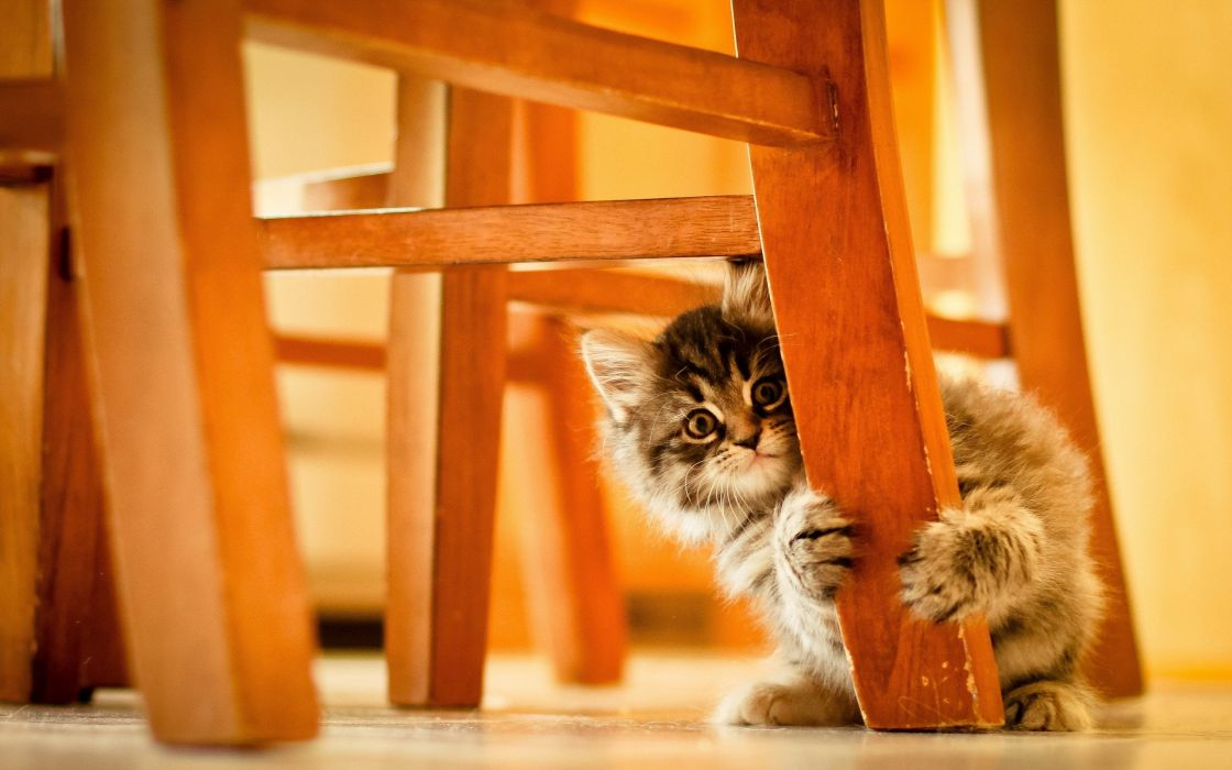 cats animals chairs kittens wallpaper