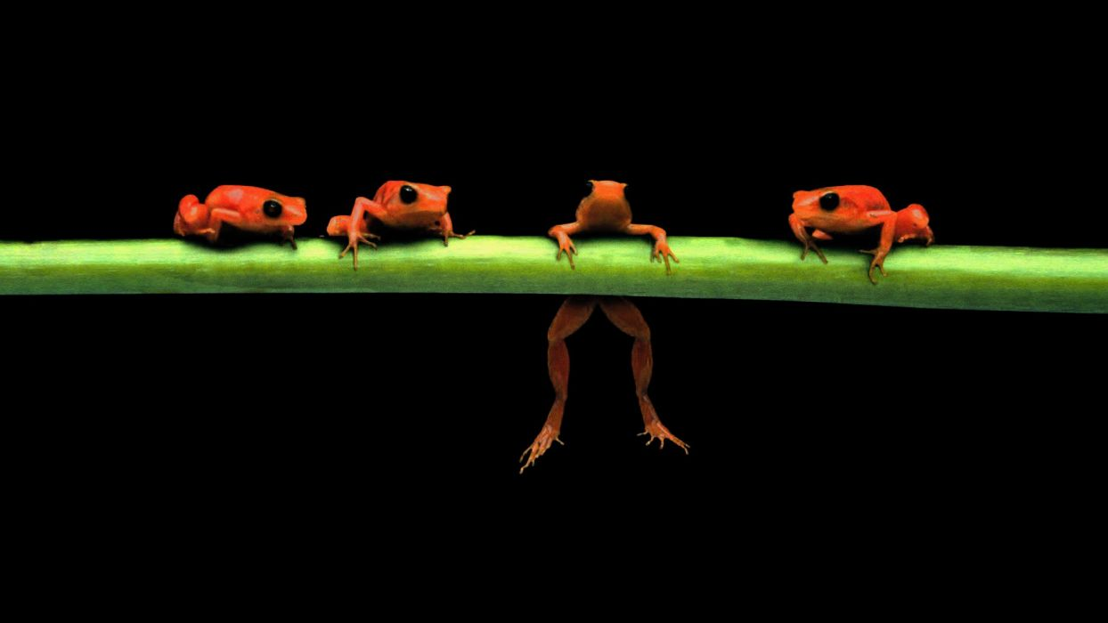 hanging frogs black background amphibians wallpaper