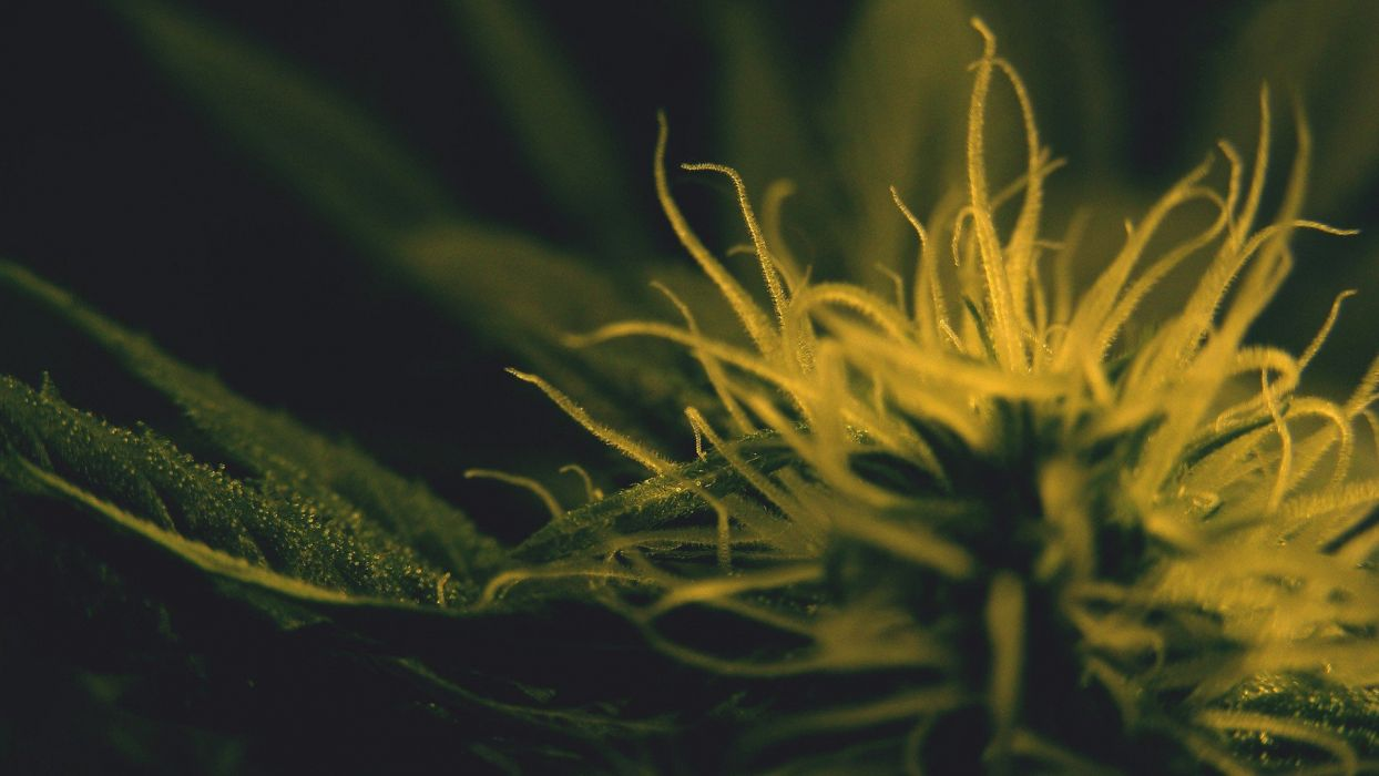 drugs marijuana plants wallpaper