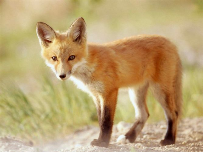 animals outdoors foxes wallpaper