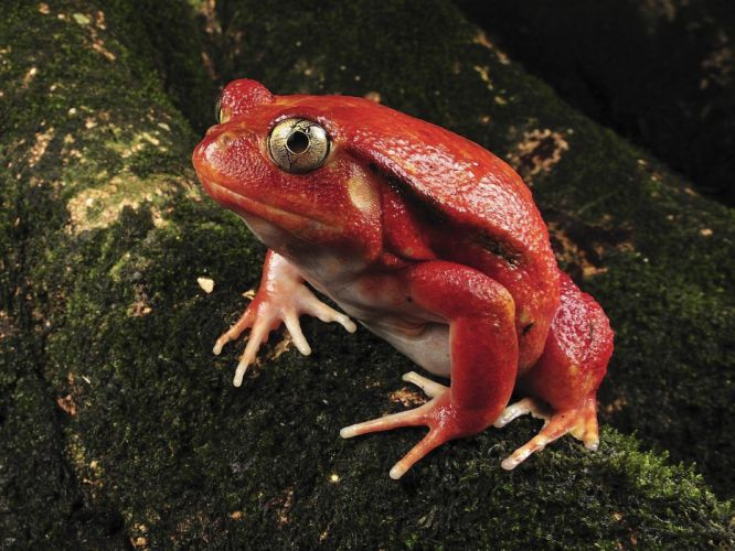 nature madagascar frogs Tomato rare amphibians wallpaper