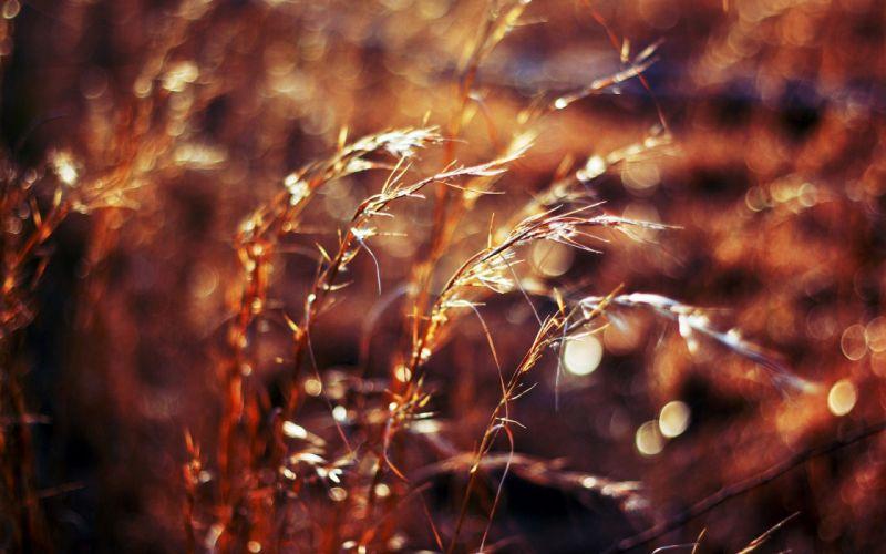 wheat Flora wallpaper