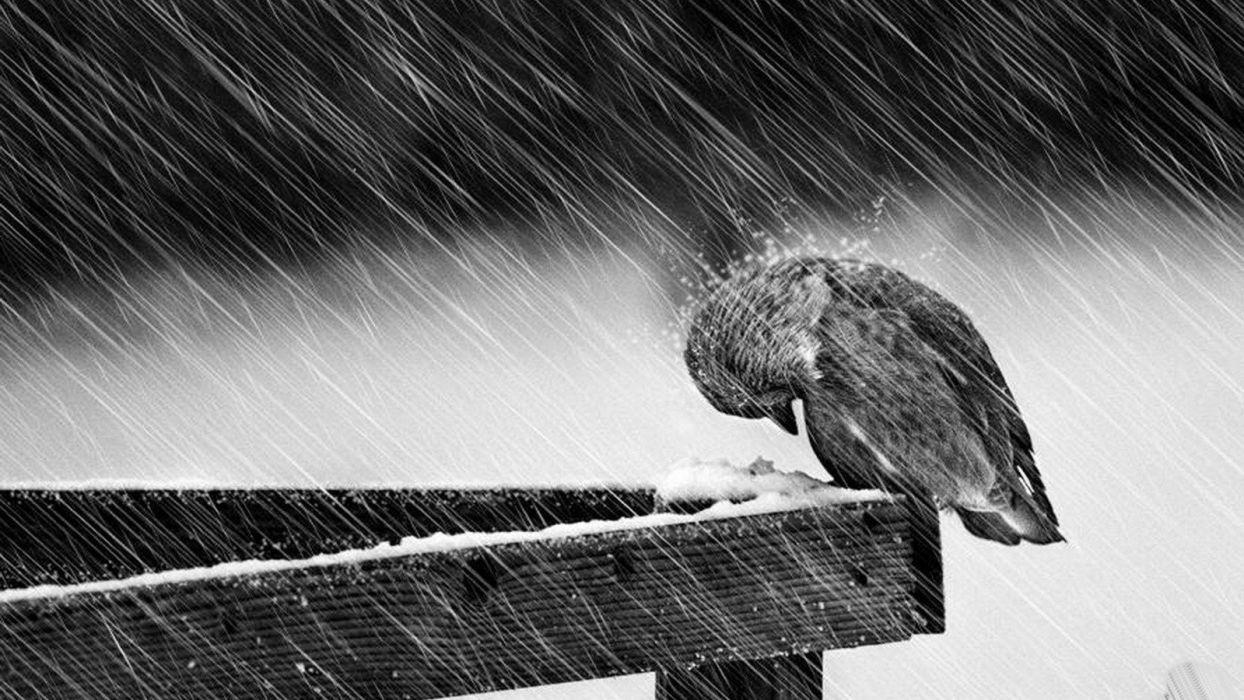 black and white rain birds wallpaper