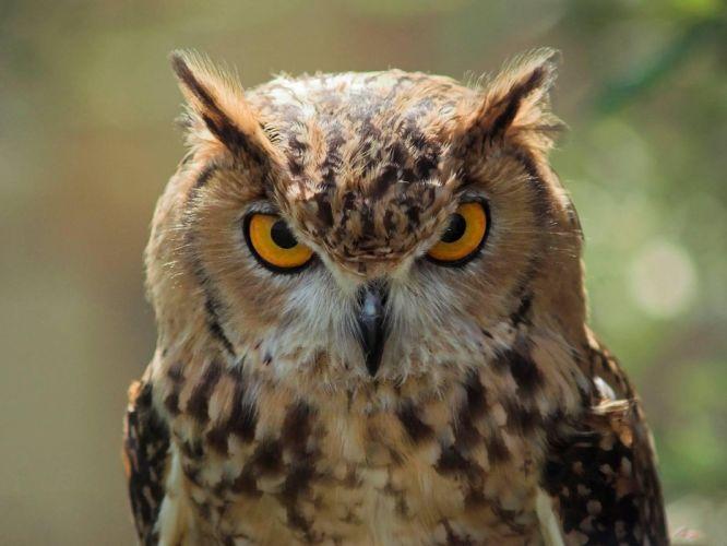 animals owls wallpaper