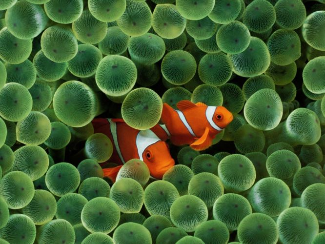 fish clownfish sea anemones sea wallpaper