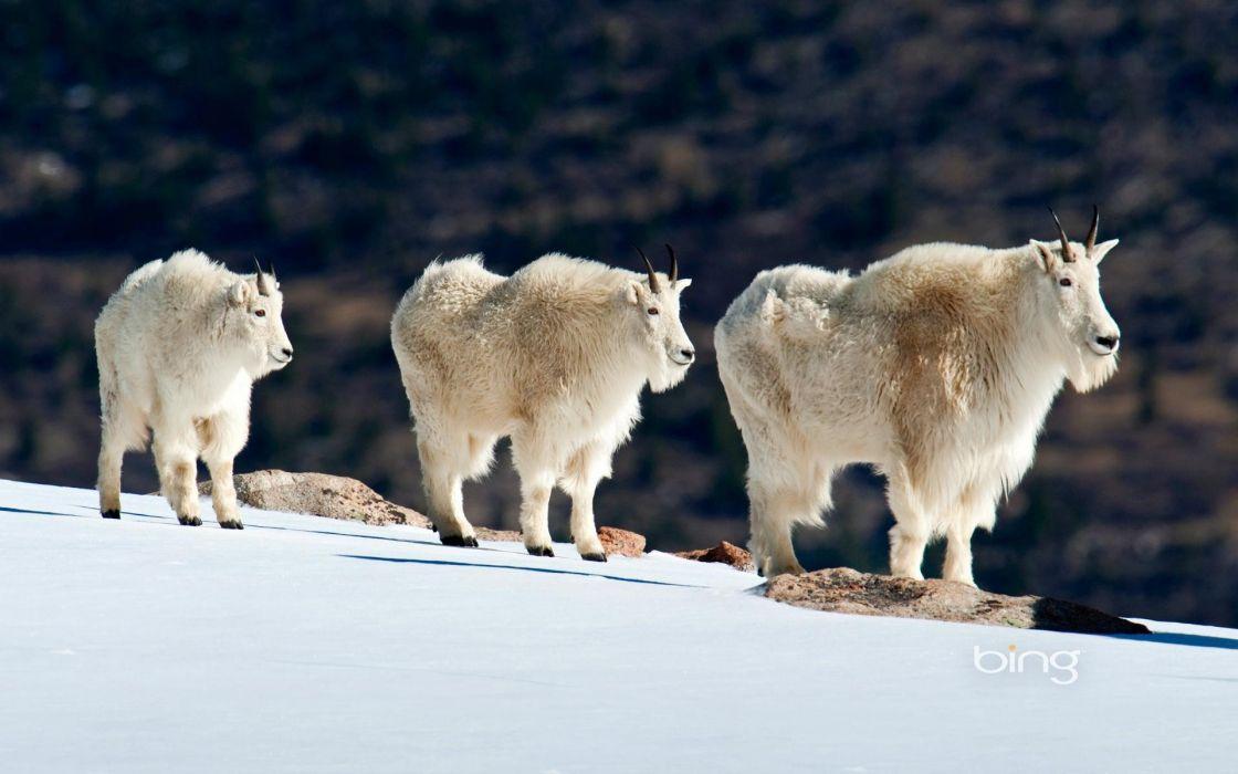 nature animals goats wallpaper