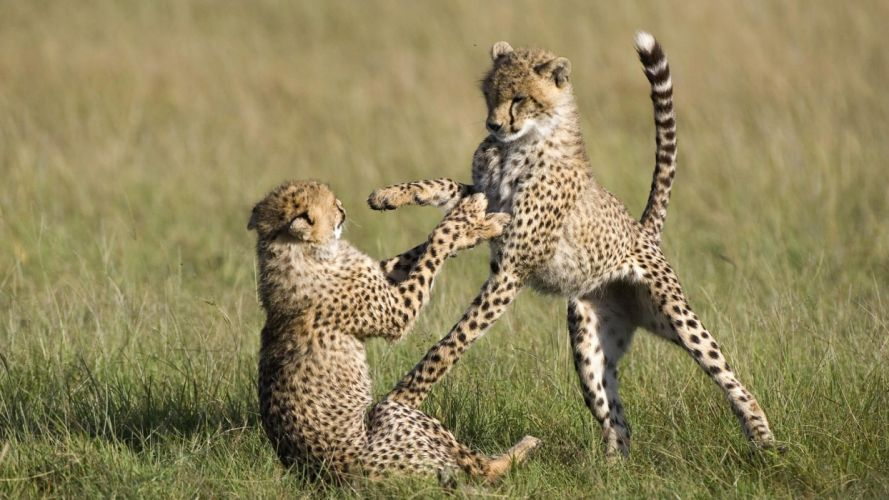 animals cheetahs national mara Kenya wallpaper