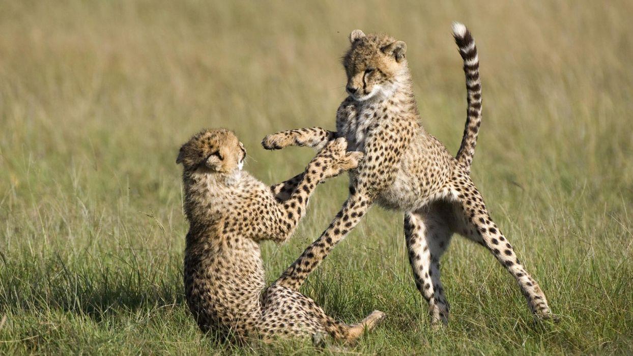 animals cheetahs national mara Kenya wallpaper