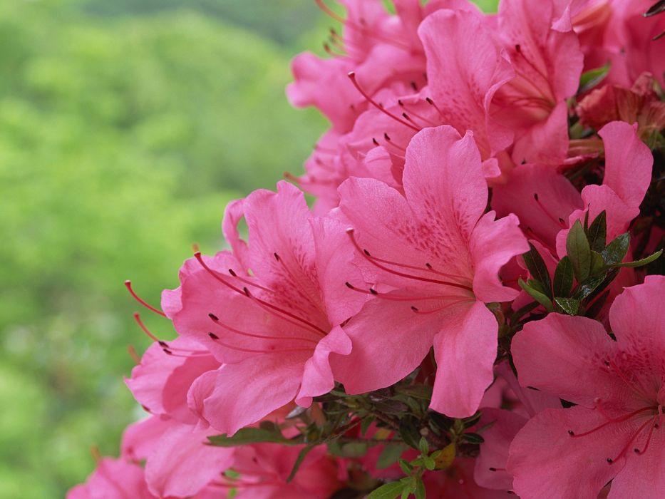 flowers pink flowers wallpaper