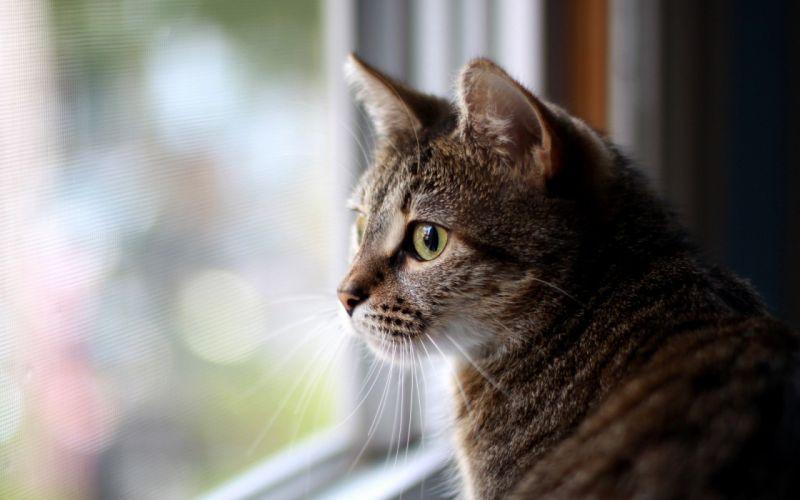 cats animals window panes domestic cat wallpaper