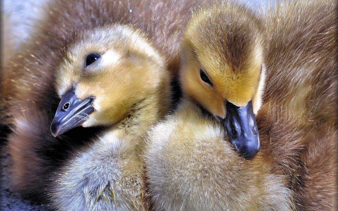 birds ducks duckling baby birds wallpaper