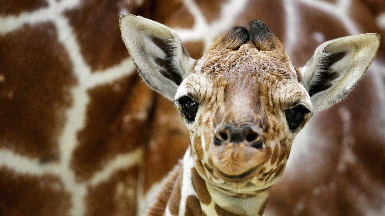 Amsterdam The Netherlands giraffes baby animals wallpaper
