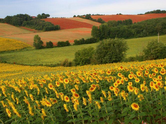 landscapes nature sunflowers wallpaper