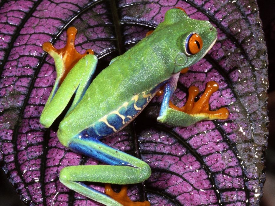 nature frogs Red-Eyed Tree Frog amphibians wallpaper